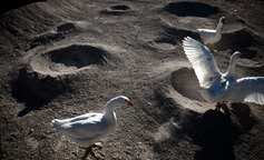 Moon Goose Colony, Agnes Meyer-Brandis